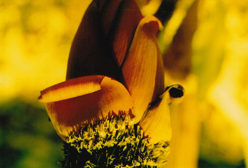 Luescher bananenblueten und papaya 2